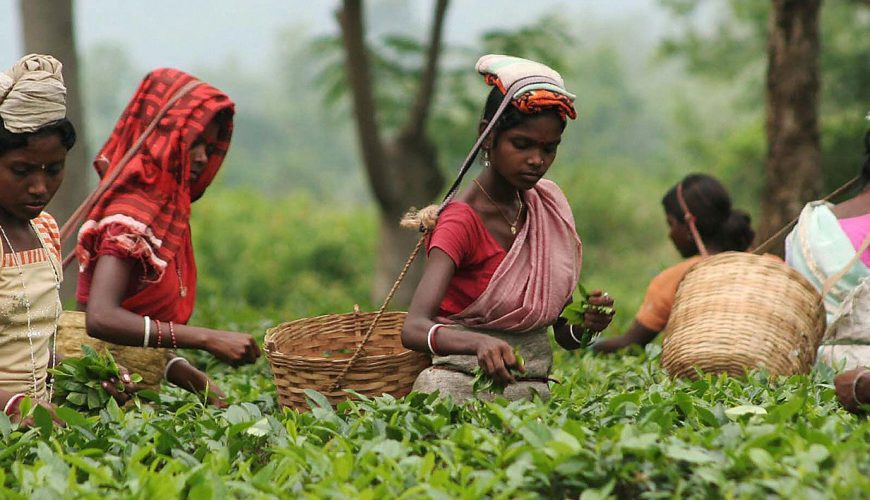 Srimangal tour bangladesh 1 tea plantation